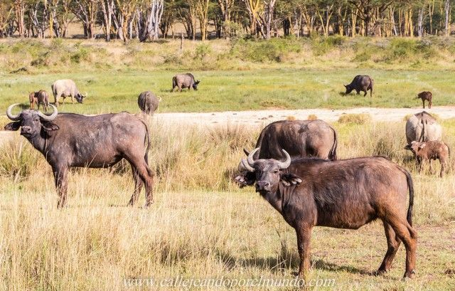 bufalos lago nakuru kenia