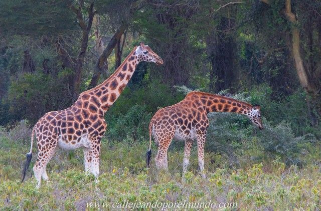 jirafa rothschild lago nakuru kenia (2)