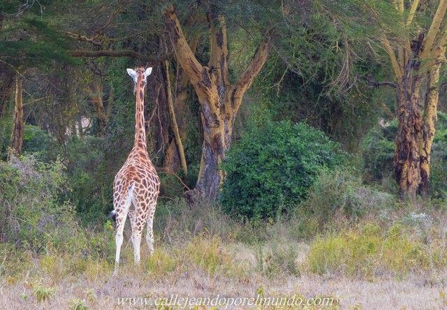 jirafa rothschild lago nakuru kenia (3)