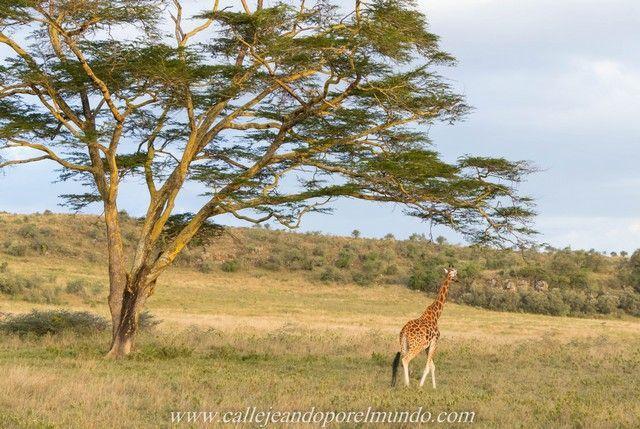 jirafa rothschild lago nakuru kenia (6)