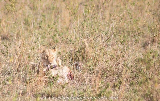 leona comiendo masai mara kenia (1)