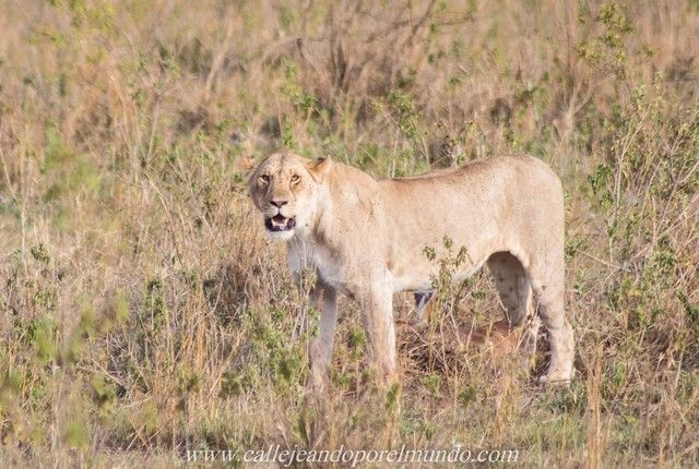 leona comiendo masai mara kenia (4)
