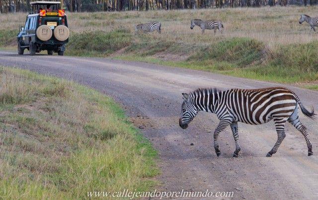 paso de cebra lago nakuru kenia (2)