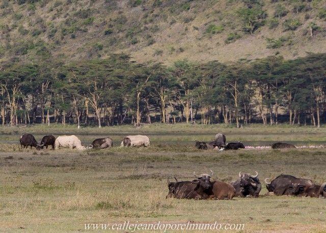 rinoceronte blanco lago nakuru kenia