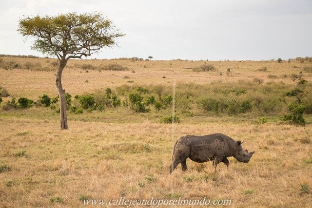 rinoceronte masai mara kenia (3)