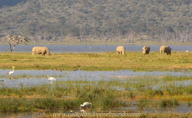 rinocerontes lago nakuru kenia