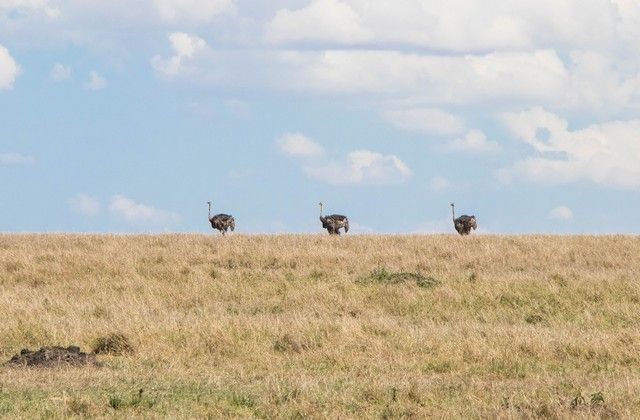 avestruz masai mara kenia (2)
