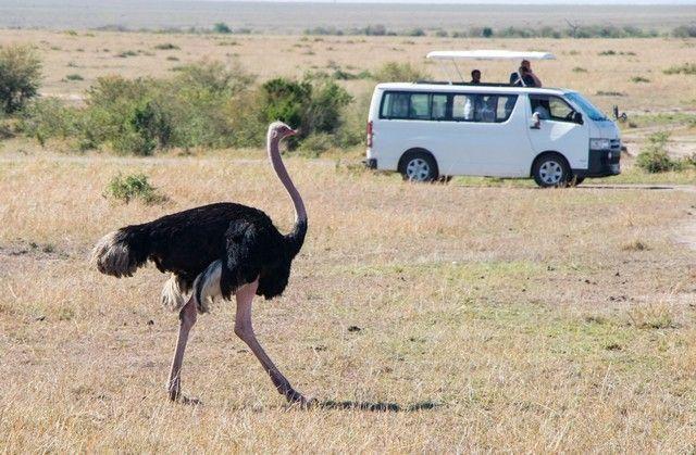 avestruz masai mara kenia