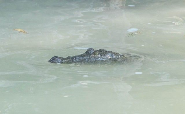 cocodrilos rio lagartos yucatan (1)