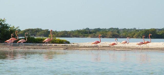 flamencos rosas rio lagartos (3)
