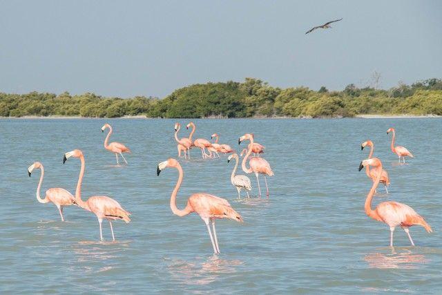 flamencos rosas rio lagartos yucatan (5)