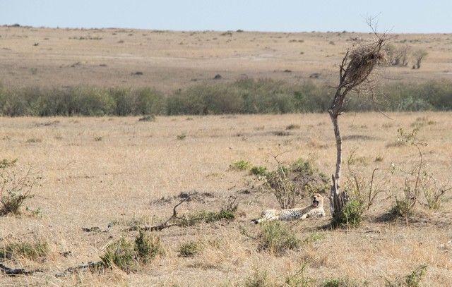 guepardo masai mara kenia (2)