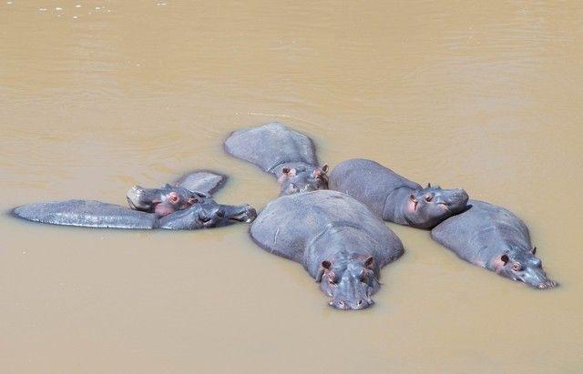 hipopotamos masai mara kenia