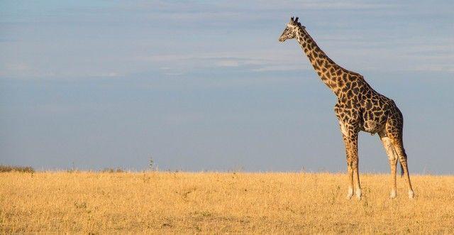 jirafa masai mara kenia