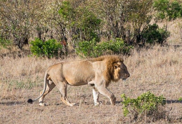 leon masai mara kenia (1)