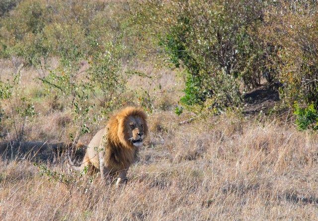 leon masai mara kenia (3)