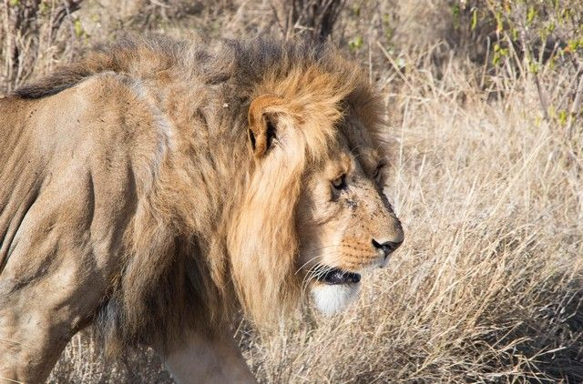 leon masai mara kenia (5)
