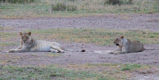 leona en amboseli kenia (4)