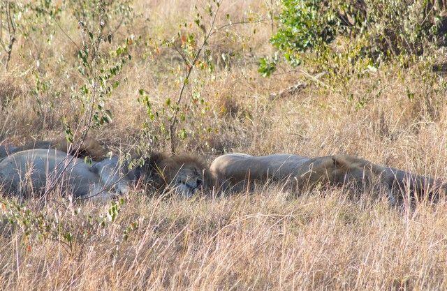 leones descansando en masai mara kenia