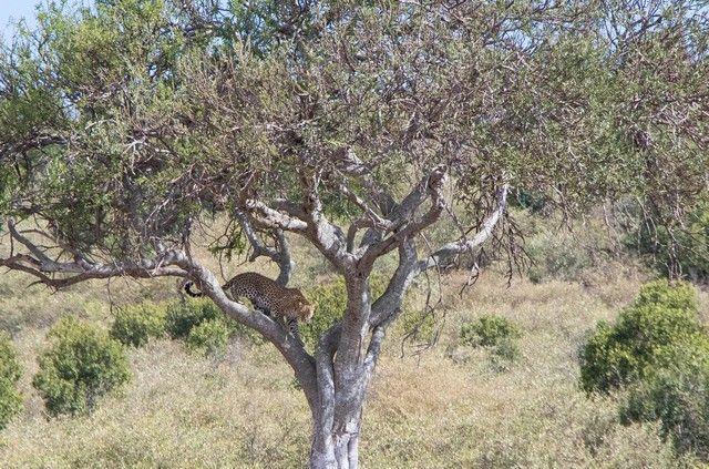 leopardo masai mara kenia (1)