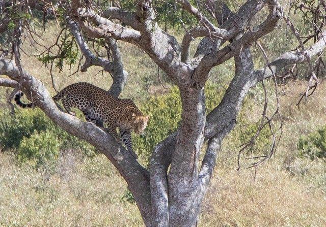 leopardo masai mara kenia (2)