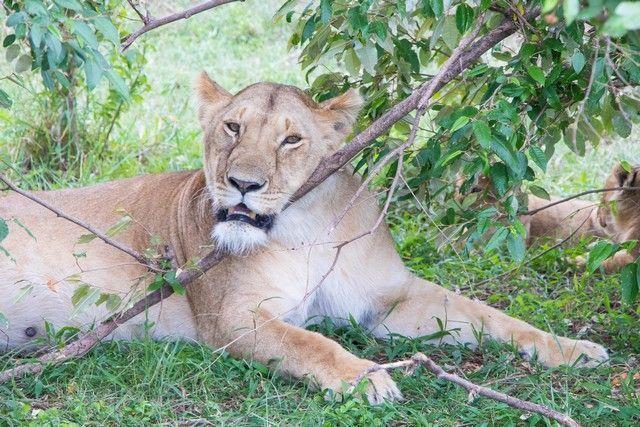 masai mara el rey leon (3)