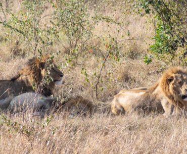 masai mara kenia leones portada
