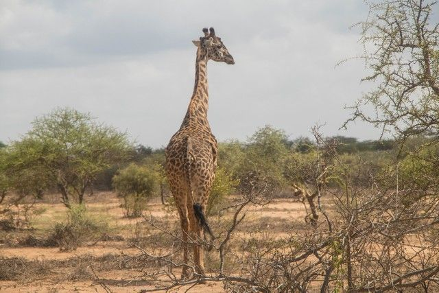 jirafa entrando en tanzania (2)
