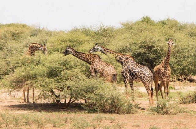 safari lago manyara tanzania (7)