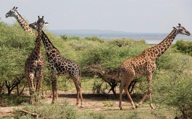 safari lago manyara tanzania (8)