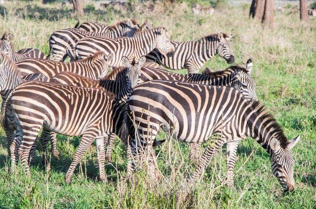 tarangire national park safari de mañana tanzania (2)
