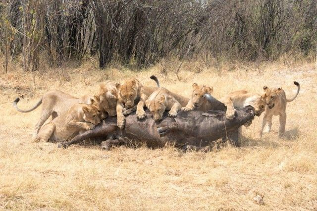 botswana safari mopane game