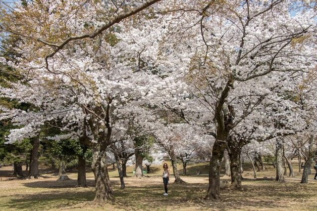 nara kioto en hanami (14)