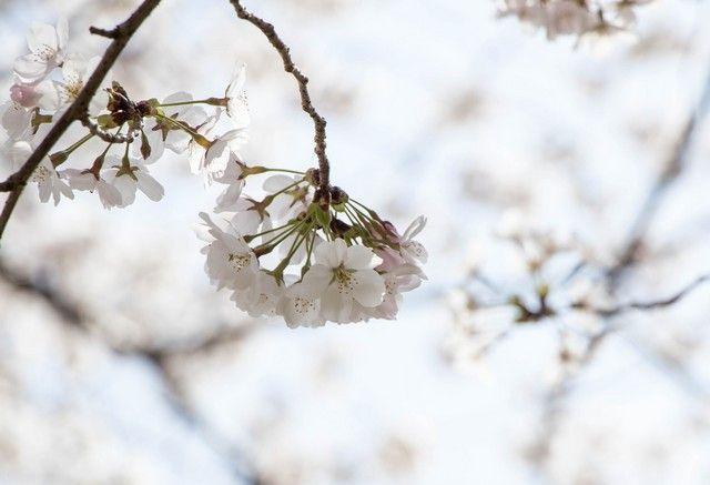 nara kioto en hanami (15)