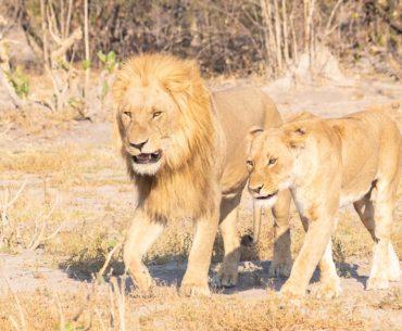 leones savuti de kasane a savuti botswana