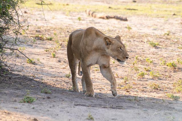 parque nacional chobe botswana (43)
