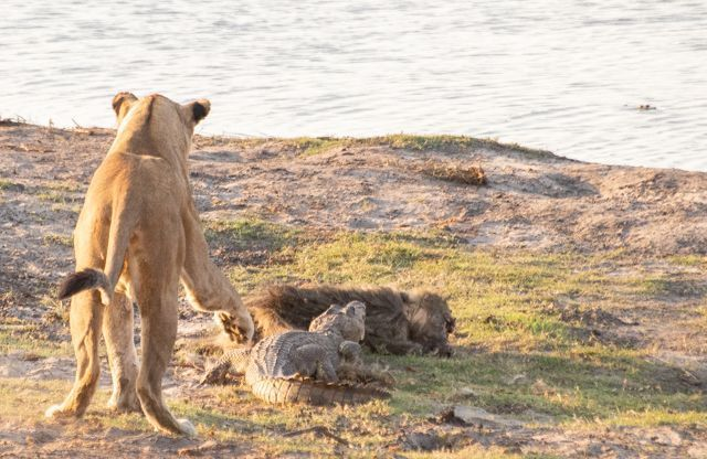 parque nacional chobe botswana (54)