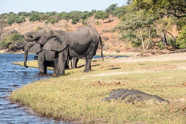 safari en barco por la ribera del chobe botswana (16)