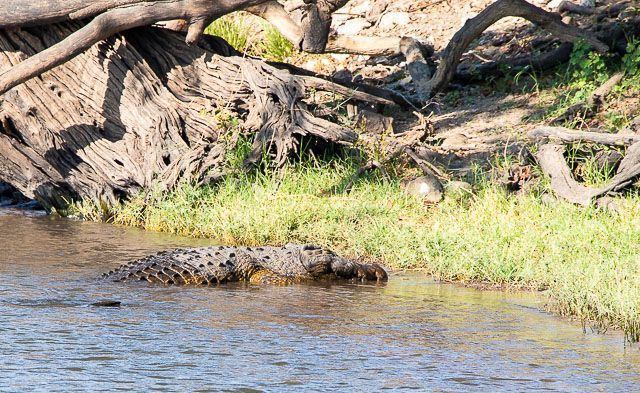 safari en barco por la ribera del chobe botswana (6)