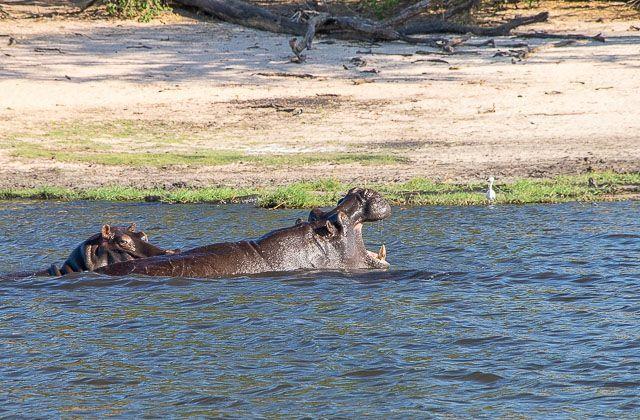 safari en barco por la ribera del chobe botswana (8)