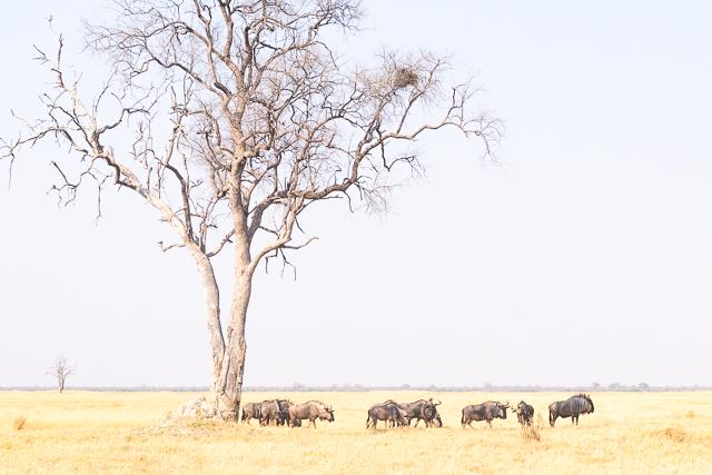 el canal de savuti parque nacional chobe botswana (18)