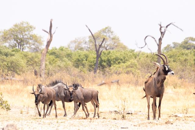 el canal de savuti parque nacional chobe botswana (30)
