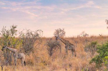 jirafas botswana