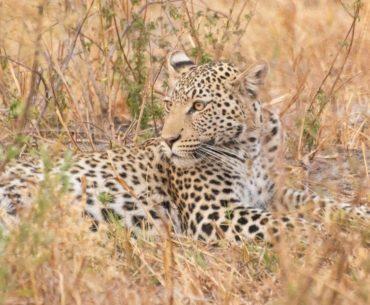 leopardos de savuti botswana