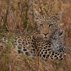 Los leopardos de Savuti