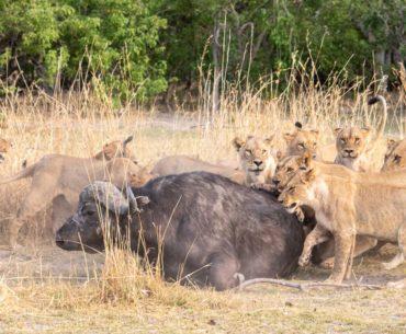 caza de leones en moremi botswana