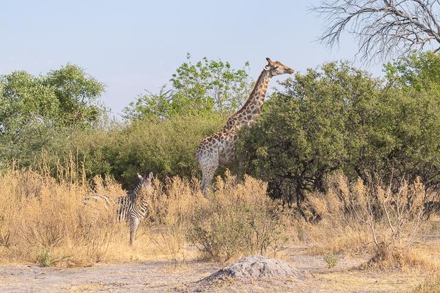 caza de leones moremi botswana (1)