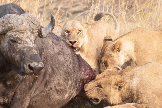 La caza de los leones (Moremi – Botswana)
