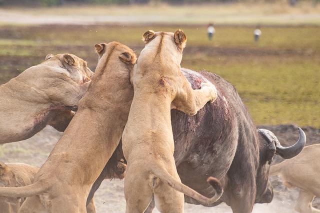 caza de leones moremi botswana (11)