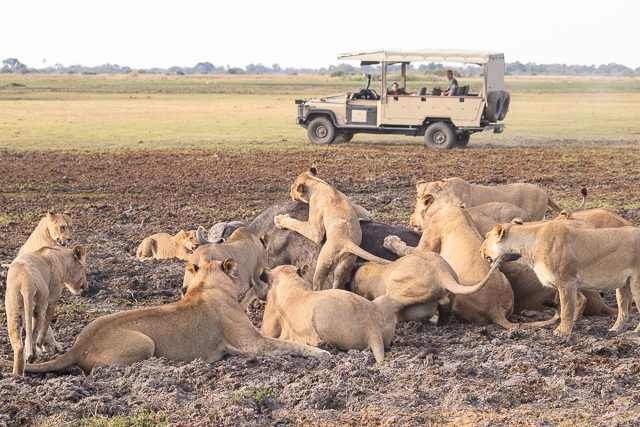 caza de leones moremi botswana (12)